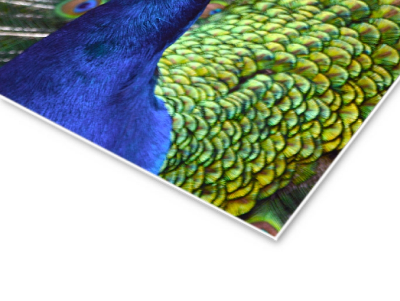 Peacock Portrait Printed Mounted on Artboard Dry Mount for Mounting Inside a Frame